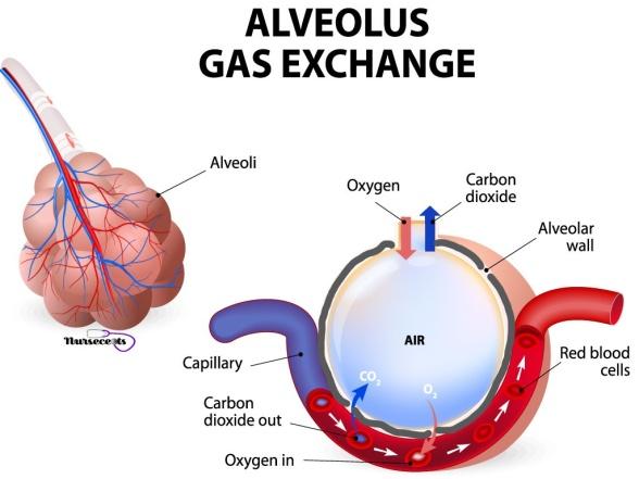 Respiratory - Aleveoli Gas Exchange